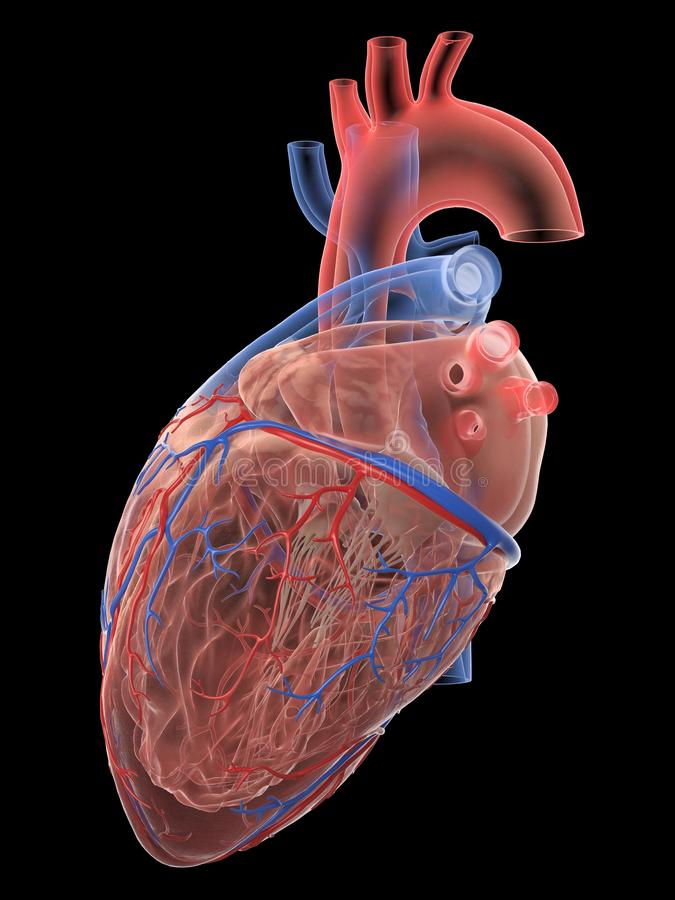 The human heart anatomy. 3d rendered medically accurate illustration of the human heart anatomy stock illustration