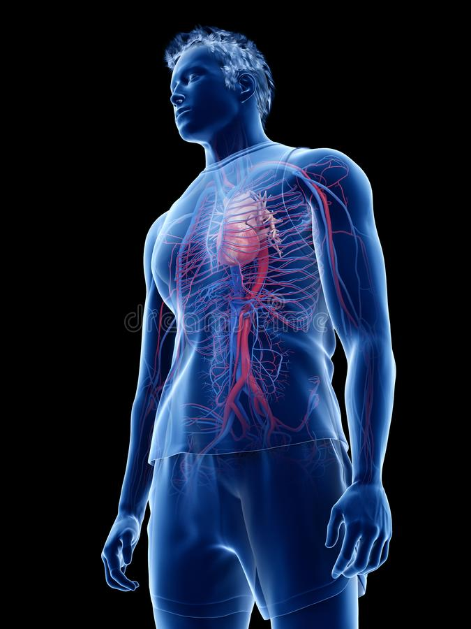 the human heart and vascular system vector illustration
