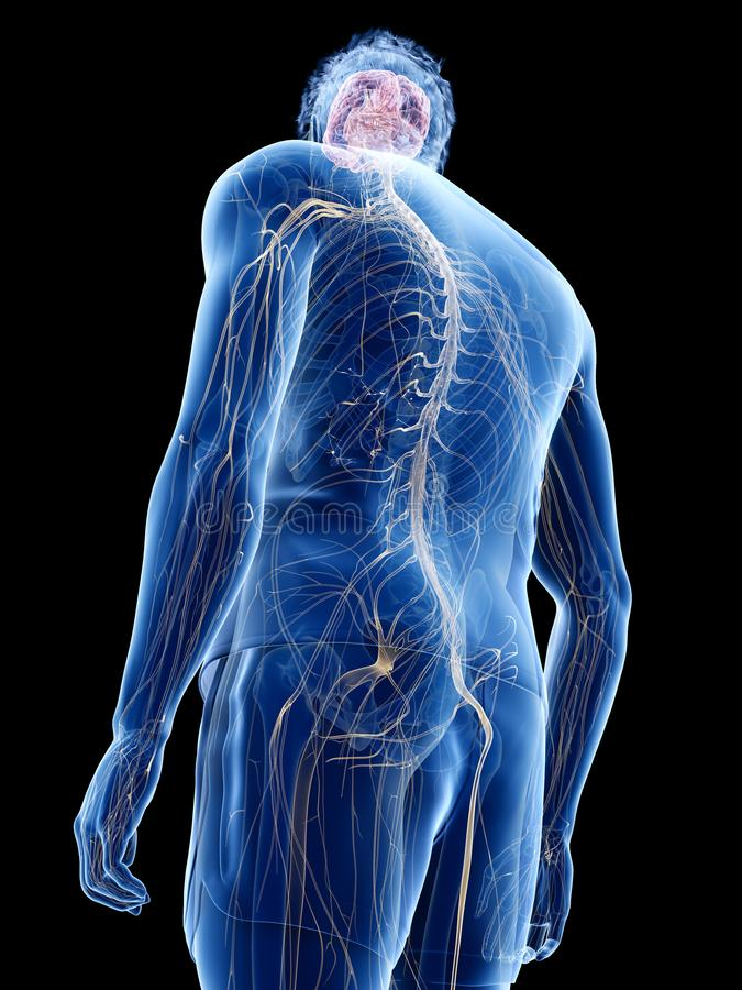 The human nervous system stock illustration