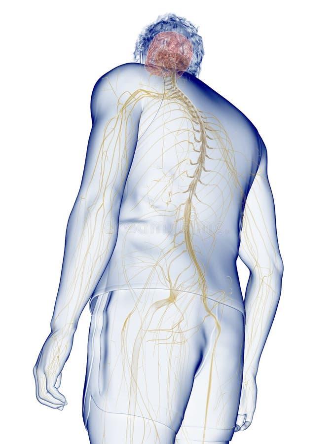 The human nervous system. 3d rendered medically accurate illustration of the human nervous system royalty free illustration