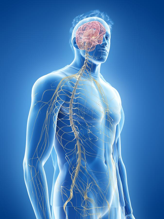 The human nervous system stock illustration