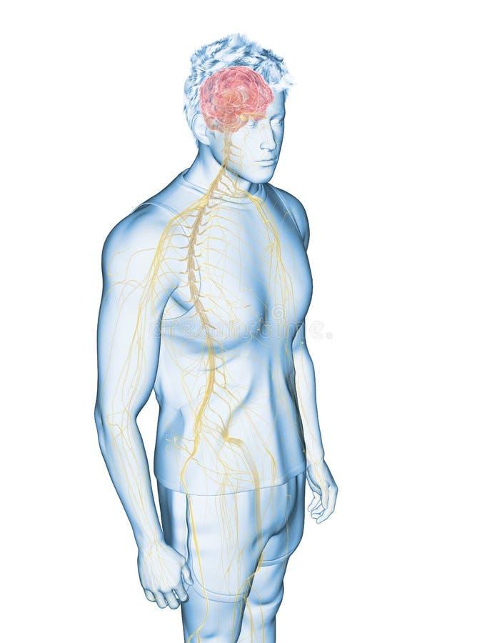 The human nervous system. 3d rendered medically accurate illustration of the human nervous system vector illustration