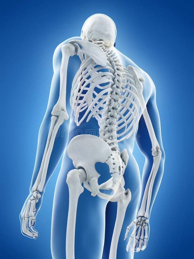 The human skeletal system royalty free illustration