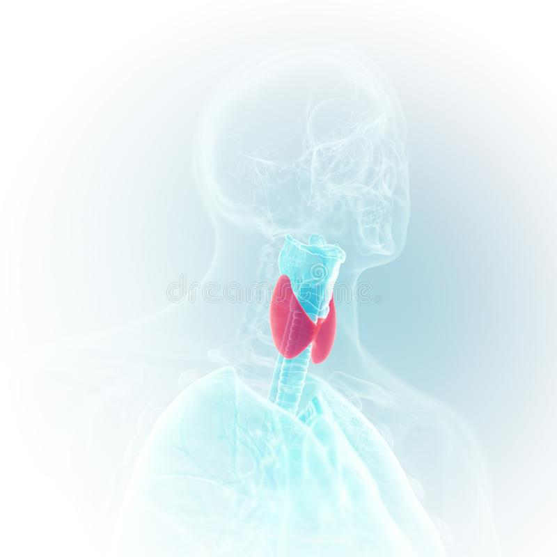 The larynx. 3d rendered medically accurate illustration of the larynx vector illustration