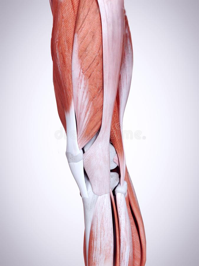 The leg muscles. 3d rendered medically accurate illustration of the leg muscles stock illustration