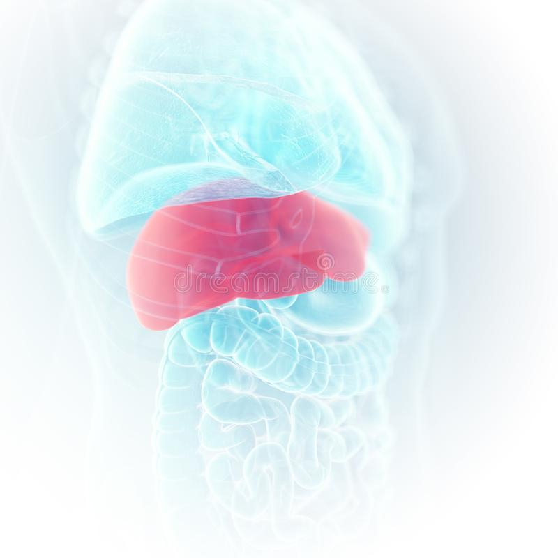 The liver. 3d rendered medically accurate illustration of the liver royalty free illustration