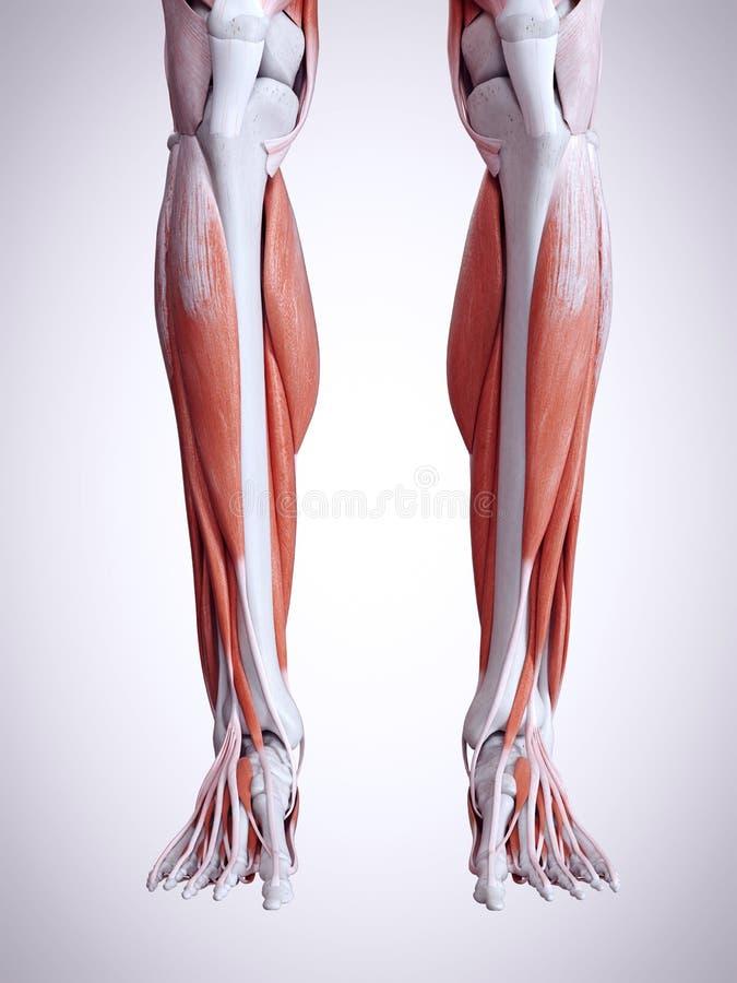 The lower leg muscles stock illustration