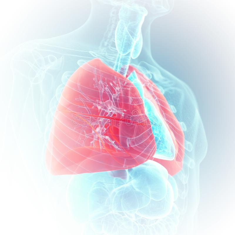 The lung. 3d rendered medically accurate illustration of the lung royalty free illustration