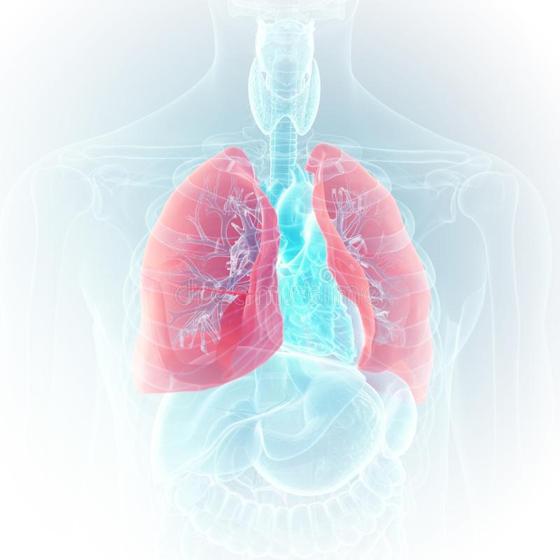 The lung. 3d rendered medically accurate illustration of the lung stock illustration