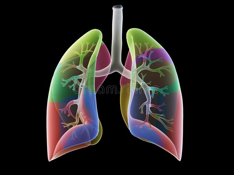 The lung segments. 3d rendered medically accurate illustration of the lung segments stock illustration