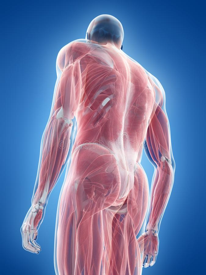 The male muscle system stock illustration