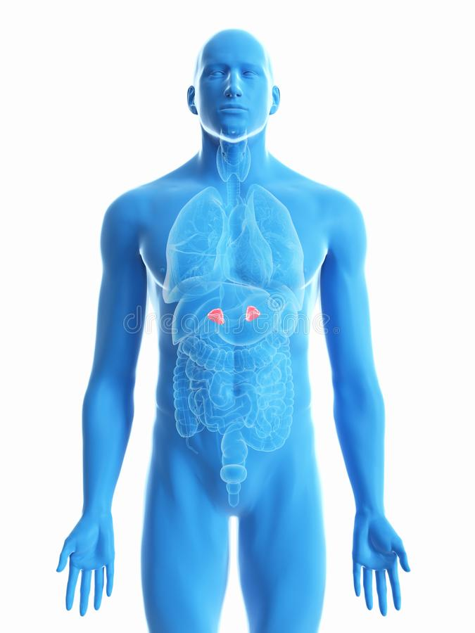 a mans adrenal glands vector illustration
