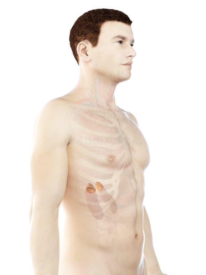 a mans adrenal glands royalty free illustration