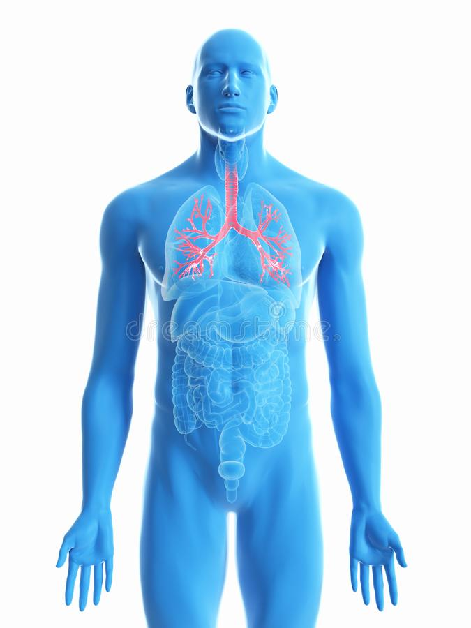 A mans bronchi. 3d rendered medically accurate illustration of a mans bronchi vector illustration