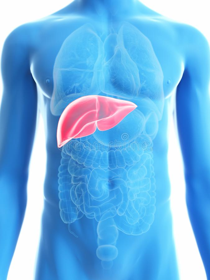 A mans liver. 3d rendered medically accurate illustration of a mans liver stock illustration