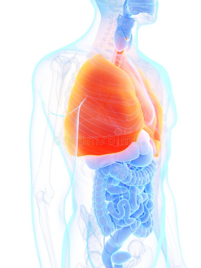 A mans lung. 3d rendered medically accurate illustration of a mans lung vector illustration