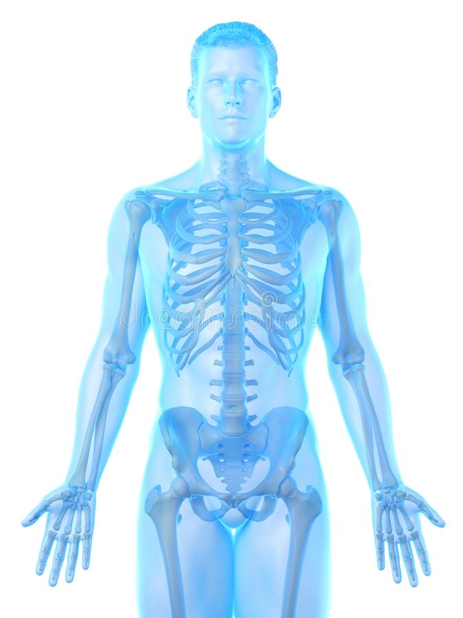 A mans skeleton. 3d rendered medically accurate illustration of a mans skeleton vector illustration