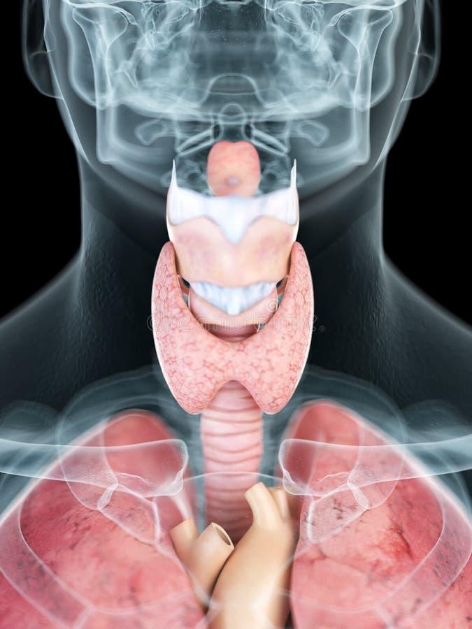 A mans throat anatomy. 3d rendered medically accurate illustration of a mans throat anatomy vector illustration