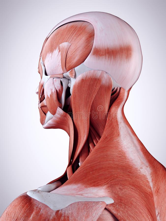 The neck muscles royalty free illustration