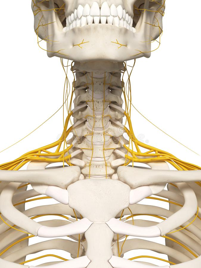 The neck nerves stock illustration. Illustration of bones - 101197472