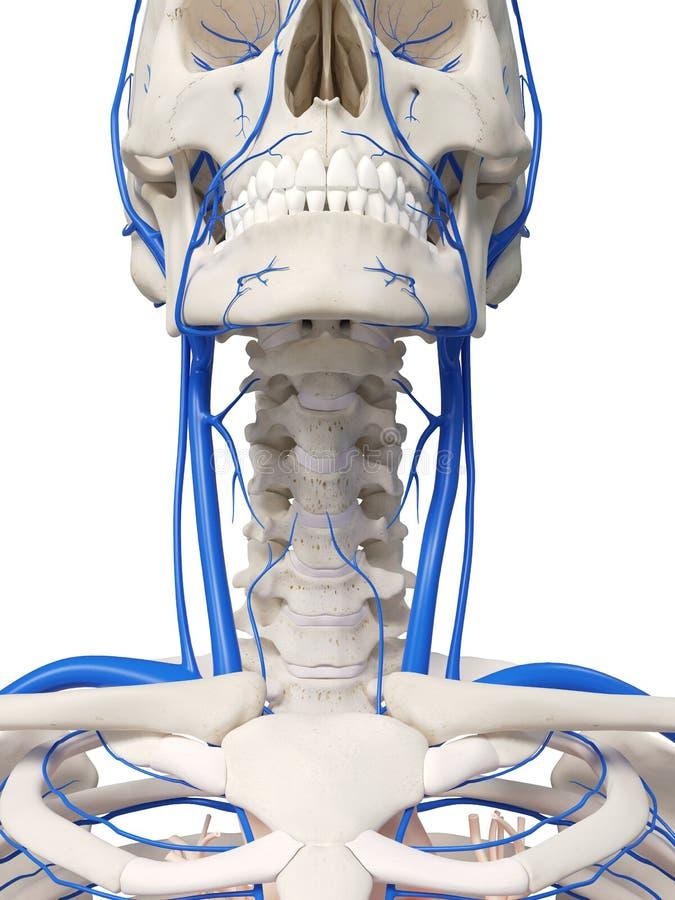 The neck veins stock illustration