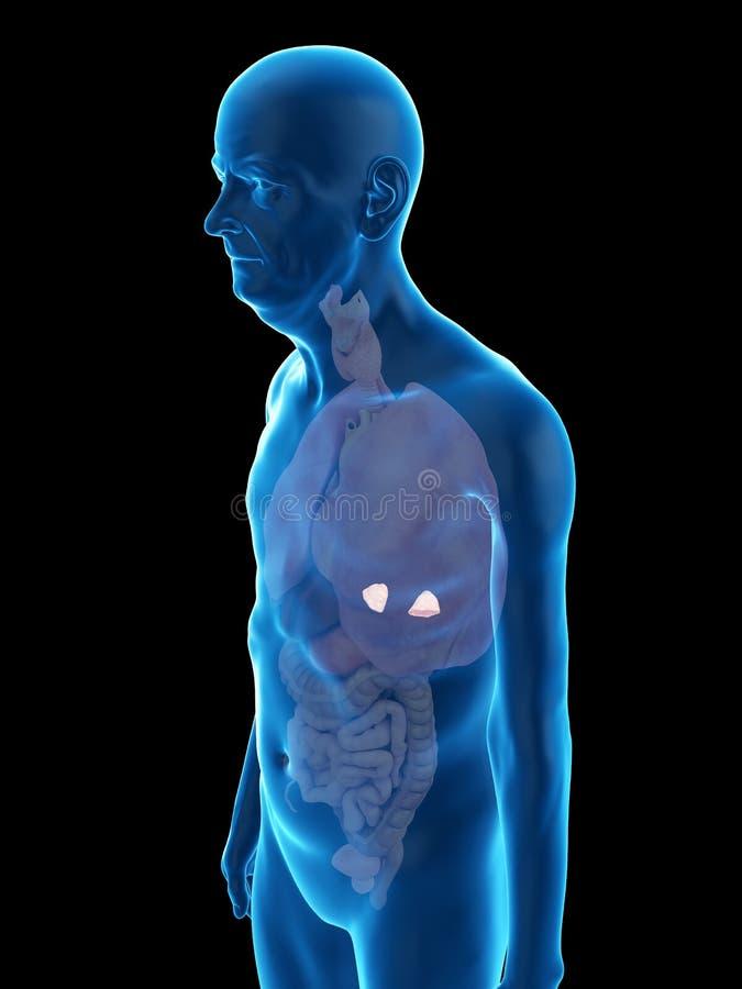 an old mans adrenal glands stock illustration