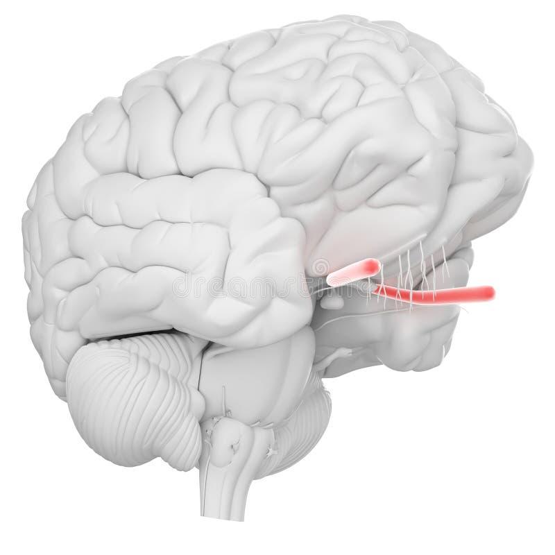 The optic nerve vector illustration