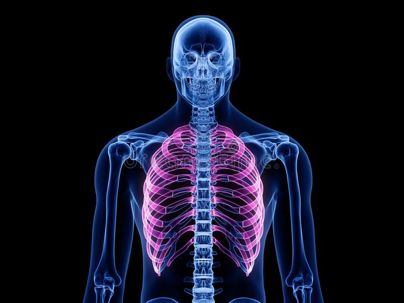The ribs. 3d rendered medically accurate illustration of the ribs royalty free illustration