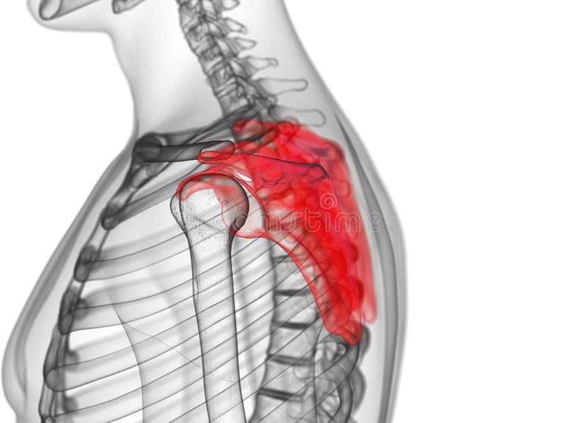 The scapula. 3d rendered medically accurate illustration of the scapula stock illustration