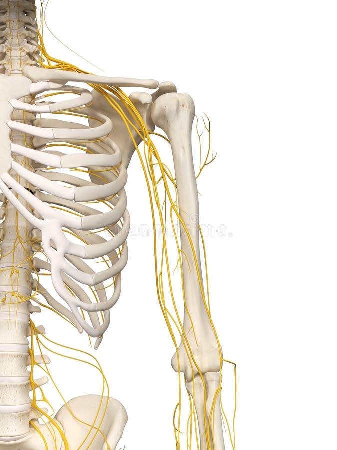 The shoulder nerves vector illustration