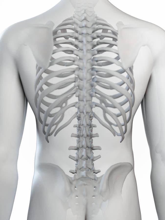 The skeletal back. 3d rendered medically accurate illustration of the skeletal back stock illustration