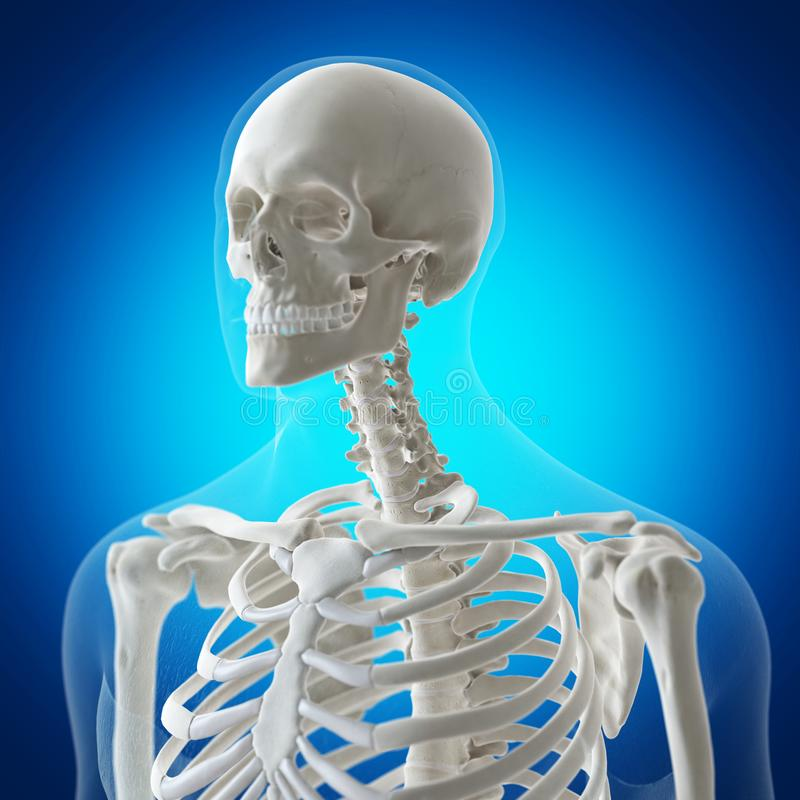 The skeletal neck. 3d rendered medically accurate illustration of the skeletal neck royalty free illustration