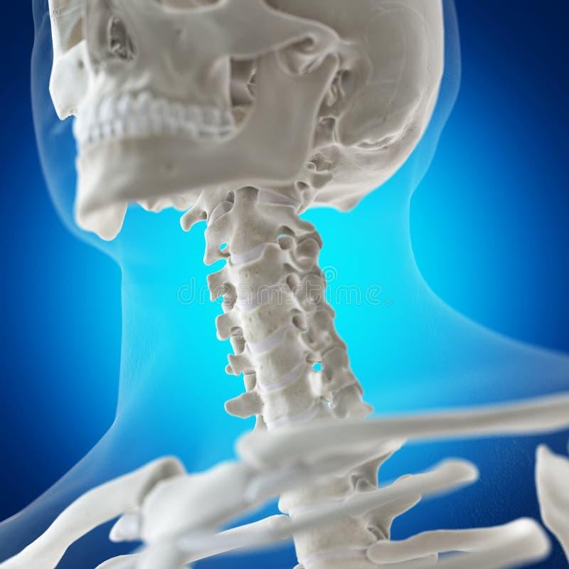 The skeletal neck. 3d rendered medically accurate illustration of the skeletal neck vector illustration