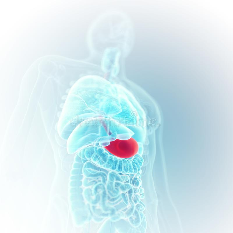 The stomach. 3d rendered medically accurate illustration of the stomach royalty free illustration