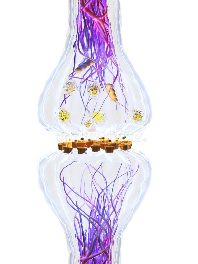 The synapse anatomy stock illustration