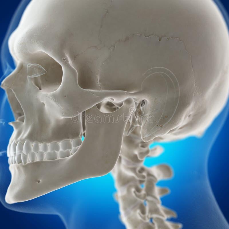 The temporomandibular joint stock illustration