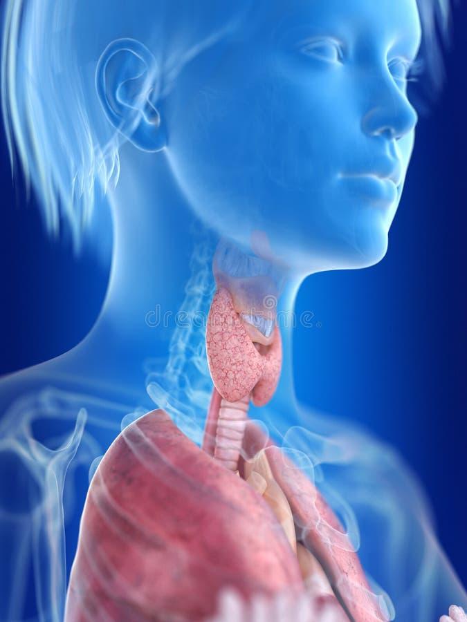 A womans thyroid gland royalty free illustration