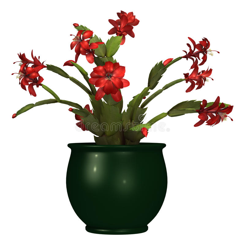 3D Rendering Christmas Cactus or Schlumbergera on White stock photo