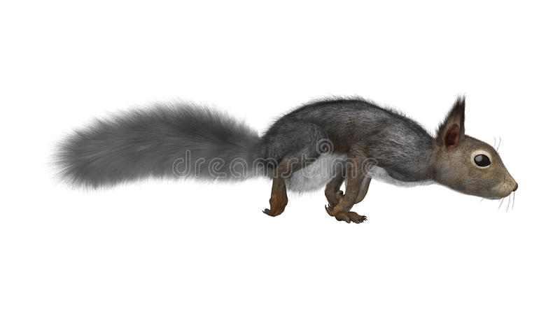 3D Rendering Eastern Gray Squirrel on White stock images