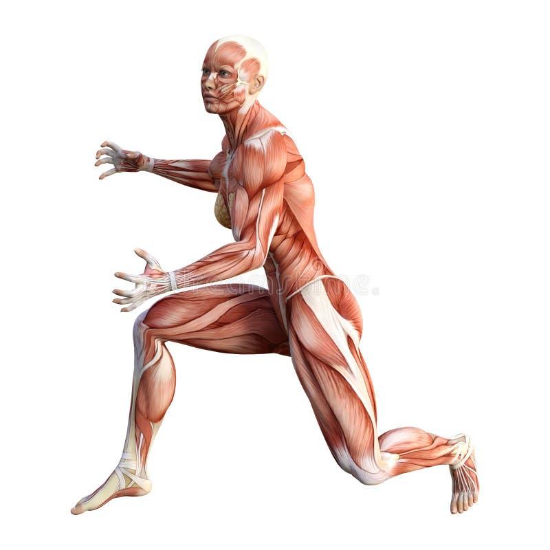 3D Rendering Female Anatomy Figure On White Stock Illustration ...