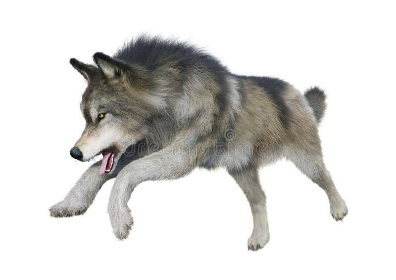3D Rendering Gray Wolf on White. 3D rendering of a gray wolf isolated on white background stock photos