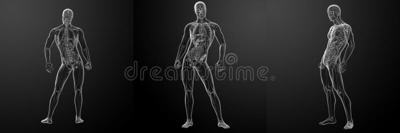 3d rendering of human. Anatomy royalty free illustration