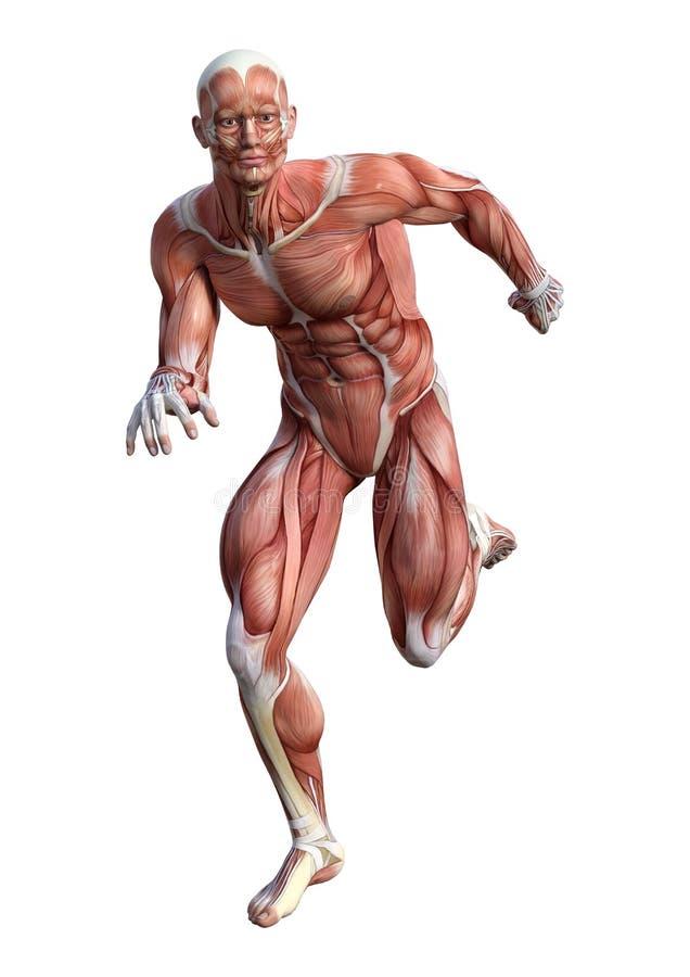 3D Rendering Male Anatomy Figure On White Stock Illustration ...