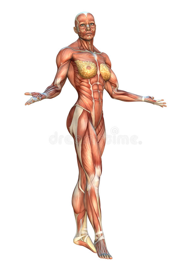 3D Rendering Muscle Maps stock illustration. Illustration of anatomy ...