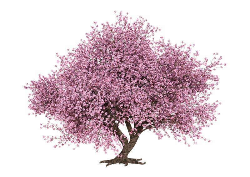 3D Rendering Pink Blooming Sakura Tree on White royalty free stock photo