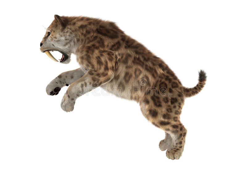 3D Rendering Saber Tooth Tiger on White. 3D rendering of a saber tooth tiger isolated on white background stock images