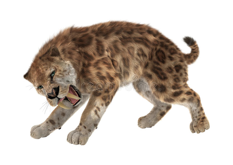 3D Rendering Saber Tooth Tiger on White. 3D rendering of a saber tooth tiger isolated on white background royalty free stock photos