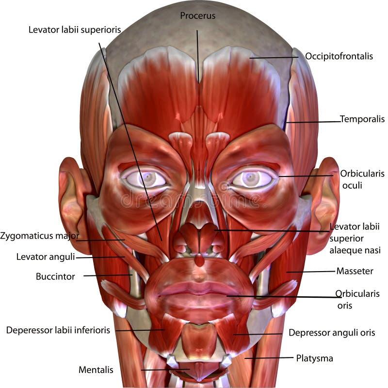 3d a rendu l'illustration - anatomie de muscle de corps humain illustration libre de droits