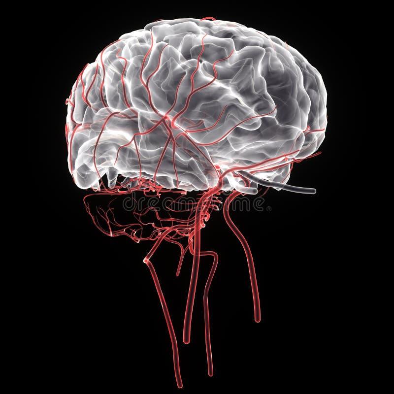 3d a rendu l'illustration médicalement précise de l'anatomie de cerveau illustration de vecteur