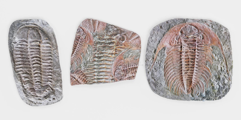 3D rinden de los fósiles de Trilobite libre illustration
